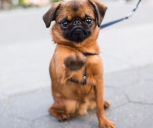 animals, dogs, and brussels griffon image