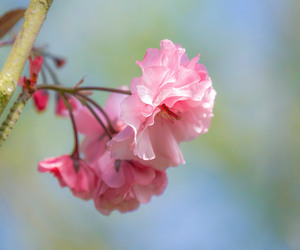 cherry blossom, flower, and petals image