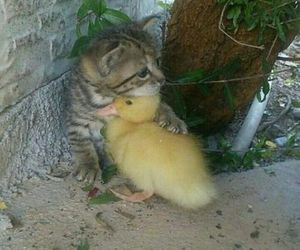 animal, cat, and duck image