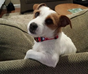 animals, Terrier, and dogs image