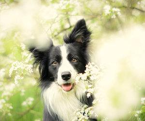 animals, border collie, and dog image
