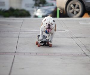 bulldog, skater, and longboard girls image