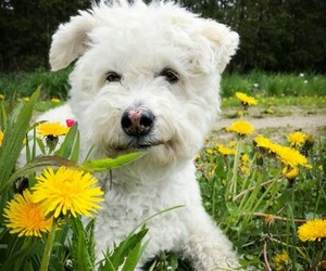 animals, dogs, and bichon image