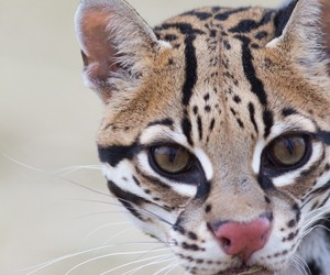 animals, ocelot, and wild cats image