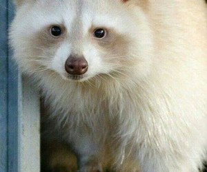 animals, racoon, and albino racoon image