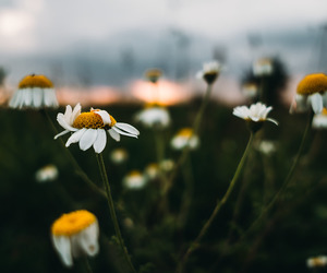 chamomile, floral, and flowers image