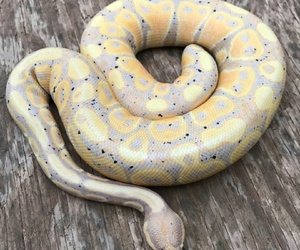 amarillo, gold, and snake image