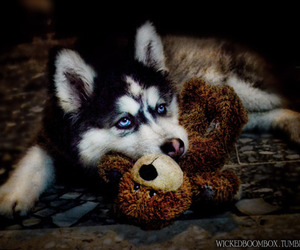 husky, puppy, and beautiful image