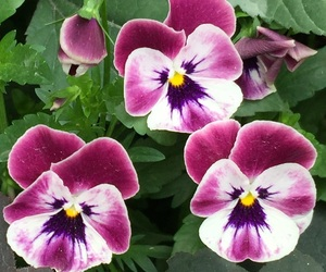 flower and pansy image