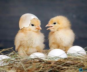 baby animals, birds, and chickens image