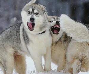 animals, alaskan malamute, and dogs image