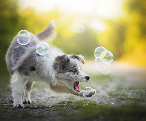 australian shepherd, bubble, and dog image