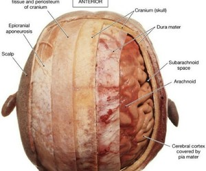 anatomy, dissection, and head image