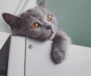 beauty, cat, and british shorthair image