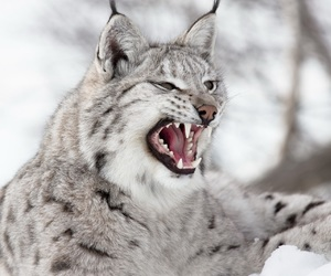 animal, lynx, and wild image