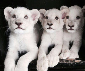Animales, cachorros, and lion cubs image