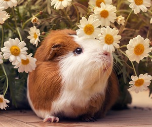 daisy, flowers, and guinea image