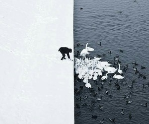 black and white, Swan, and black image