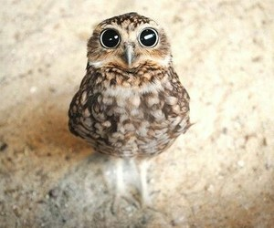 adorable, owl, and animals image