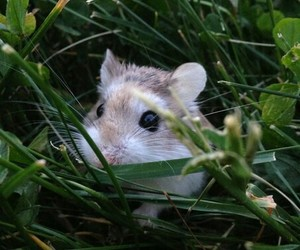 animal, grass, and hamster image
