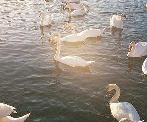 Swan, animal, and photography image