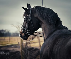 black, horse, and bridle image
