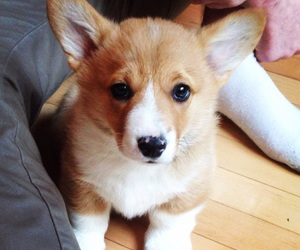 corgi, puppy, and cute image