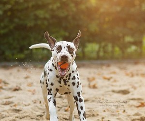 animals, dalmation, and dogs image