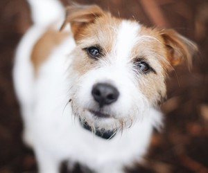 animals, dogs, and jack russell terrier image