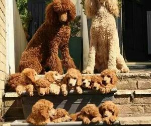 doggies, puppies, and poodles image