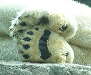 animals, Polar Bear, and bear's feetk image