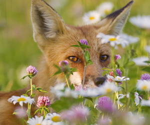 fox, flowers, and animal image