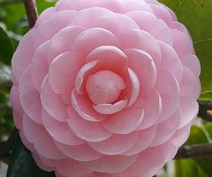 camellia image