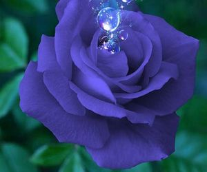 rosas image