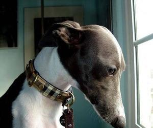 dog and italian greyhound image