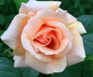 flower, nature, and rose image