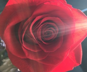 beauty, red, and rose image