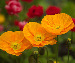 flowers, poppies, and poppy image