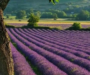 lavender, france, and nature image