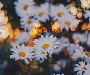 flowers, nature, and chamomile image