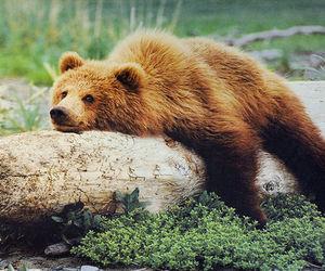 bear, animal, and photography image