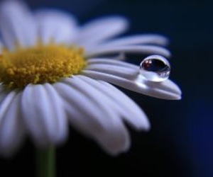 waterdrop, beautiful, and daisy image