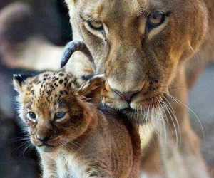 lion, animal, and baby image