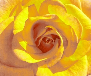bright, rose, and yellow rose image