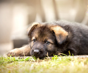 animals, dog, and german shepherd image