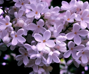 lilac and summer image