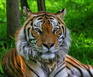 tiger, colorphotoaward, and tigre image