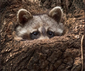 animals and raccoon image