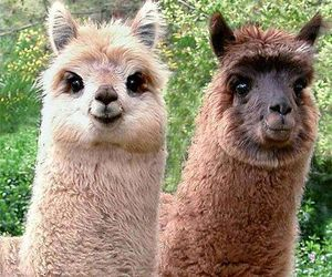 llama, animal, and lama image