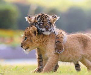 animals, lion, and tiger image